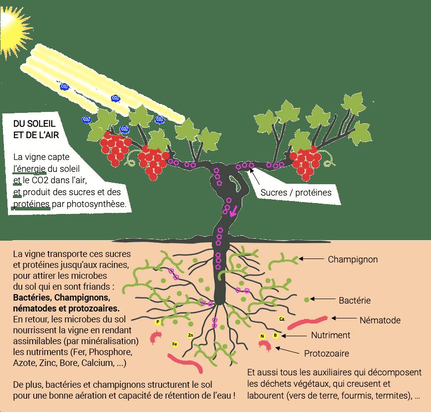 Ecosystème vigne